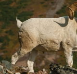 What you need for hunting BIGHORN SHEEP